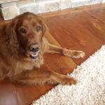 Dog sitting on douglas fir extreme reclaimed wood flooring
